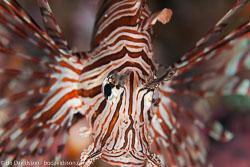 BD-110317-Puerto-Galera-3780-Pterois-volitans-(Linnaeus.-1758)-[Red-lionfish.-Drakfisk].jpg